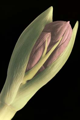 Amaryllis by Harriet Blum