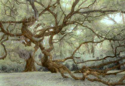Fairchild Oak by Harriet Blum