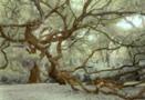 Fairchild Oak