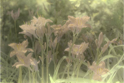 Day Lilies by Harriet Blum