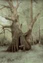 Cat Island Cypress